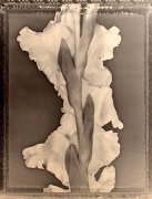 """Gladiola"", 1995 (TB 450), 24 x 20 Toned Silver Gelatin Photograph, Ed. 25"