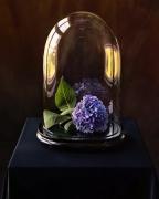 Hydrangea, in Glass Dome, 2006, 36-1/2 x 30-1/4 Color Archival Pigment Print, Ed. 10