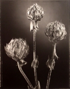 """""""Aster"""", 1998 (TB 591), 24 x 20 Toned Silver Gelatin Photograph, Ed. 25"""