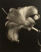 """Daylily"", 1998 (TB 582), 24 x 20 Toned Silver Gelatin Photograph, Ed. 25"