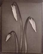 """Cyclamen"", 1996 (TB 500), 24 x 20 Toned Silver Gelatin Photograph, Ed. 25"