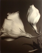 """""""Red Roses"""", 1996 (TB# 597), 24 x 20 Toned Silver Gelatin Photograph, Ed. 25"""