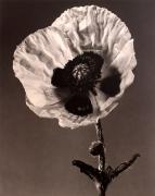 """Poppy"", 1998 (TB 607), 24 x 20 Toned Silver Gelatin Photograph, Ed. 25"