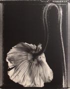 """Single Poppy "", 1997 (TB 517), 24 x 20 Toned Silver Gelatin Photograph, Ed. 25"