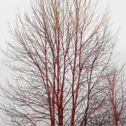 A Season of Litanies Series: Red Tree, 2013