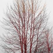 A Season of Litanies Series: Red Tree, 2013