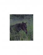 David Krueger, Vieques Horses , Horse Portraits, DG Krueger, K4 5090 (gloss/color)