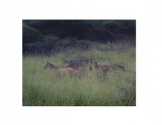 David Krueger, Vieques Horses , Horse Portraits, DG Krueger, K4 5056 (gloss/color)