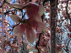 Spectacle, Pollinators, DG Krueger, digital, photographs, magnolias