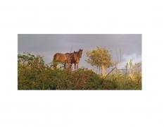 DG Krueger, Vieques Horse Portraits, K4 4450 (color gloss) 3.5 by8