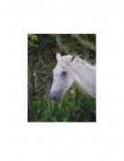 David Krueger, Vieques Horses , Horse Portraits, DG Krueger, P4 0266 (gloss/color)