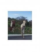 David Krueger, Vieques Horses , Horse Portraits, DG Krueger, test print, K4 4074 (gloss/color)