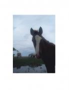 Vieques Horses, David Krueger, horse portraits, K4 5347, 2004 (color/gloss)