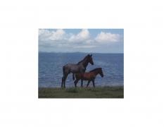 David Krueger, Vieques Horses , Horse Portraits, DG Krueger, test print, K4 5128 (matt/color)