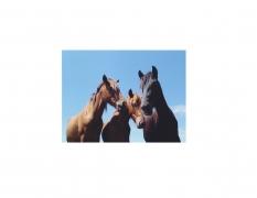 David Krueger, Vieques Horses , Horse Portraits, DG Krueger, K3 3269 (gloss/color)