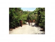 Vieques Horse TEST Prints, David Krueger, horse portraits, P5 1574 (matt/color)