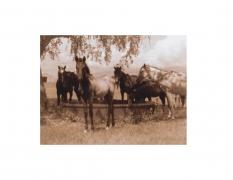 David Krueger, Vieques Horses , Horse Portraits, DG Krueger, test print, K4 5182 (gloss/sepia)