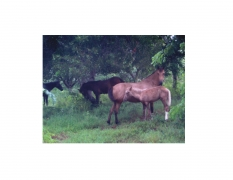 Vieques Horse TEST Prints, David Krueger, horse portraits, K4 5384