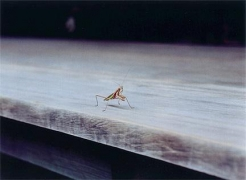 WIM WENDERS Praying Mantis, Nara, Japan