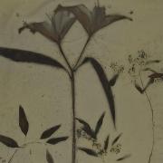 Botanical 07-05, 2007, photogenic drawing