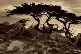 Monterey Cypress, Sepia toned gelatin silver print,  5 x 7  inches