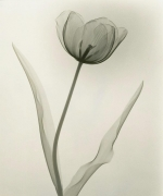 Tulip 1931 vintage gelatin silver print