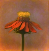 Mexican Sunflower II, hand-colored gelatin silver print,