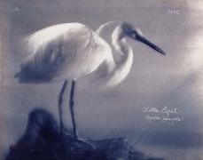 Little Egret, 2005