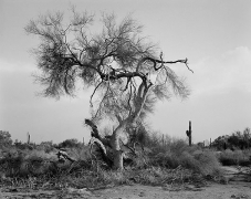 Tree, Davis Plain, Arizona, carbon pigment print, 22 x 28 inches