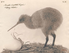 Great Spotted Kiwi, 2003