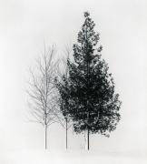 Tree Portrait, Study 4, Wakoto, Hokkaido, Japan, 2002