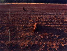 Red Setters in Red Field, Charlotte, North Carolina, 1976
