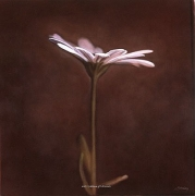 Osteospermum II, hand-colored gelatin silver print, 32 x 32 inches