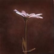 Osteospermum II, hand-colored gelatin silver print, 32 x 32 inches