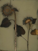 Sunflower 07-17, 2007, photogenic drawing