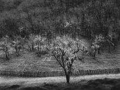 Oak Tree, Rain, Sonoma County, CA, 1960