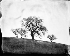 Oaks, West Marin