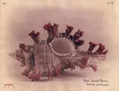 Rose-branch Murex, 2004
