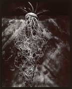 Cyclamen, 1980, From Lost Objects Portfolio, Toned gelatin silver print, 10 x 8 inches