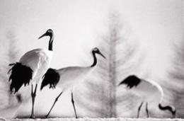 Camille Solyagua, Red Crowned Crane #14, Hokkaido, Japan, 2002,