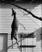 Hanging Doe, 1973
