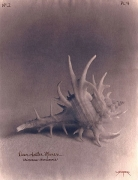 Deer Antler Murex, 2003