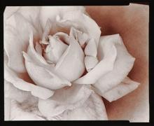 Rose, 1976, From Ephemera Portfolio, Toned gelatin silver print,