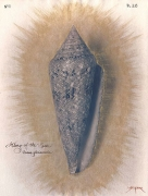 Glory-of-the-Sea Cone, 2004