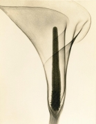 X-ray of a Lily