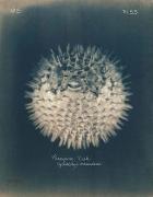 Porcupine Fish, 2005