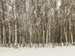 Birch Forest Japan, 2012
