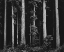 Northern California Coast Redwoods, 1960