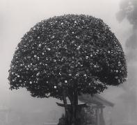 Camellia Tree, Shosanji, Tokushima, Shikoku, Japan, 2010
