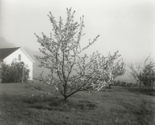 John Szarkowski Young Stayman Winesap in Bloom